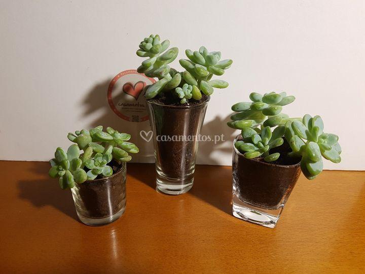 Suculentas vasos de vidro