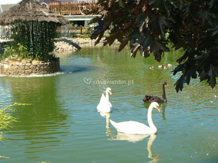 Os cisnes