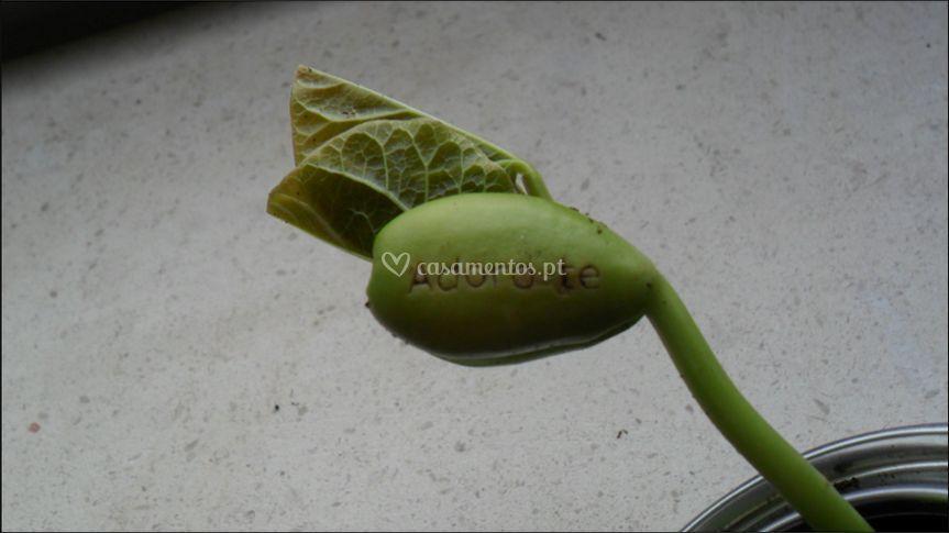 A semente com 7 dias