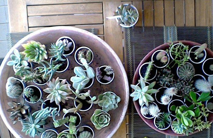 Plantação de suculentas